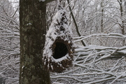 Dream Home for a Great Horned Owl - thumbnail